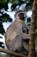 Opičí láska | | Přidal: Wickie, id:20160628122350575