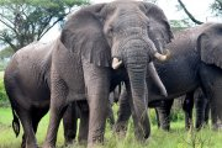 Sloni v Ishassa | | Přidal: Wickie, id:20160623151810681