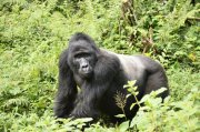 Gorila horská, stříbrohřbetý samec | | Přidal: Wickie, id:20160524111600939